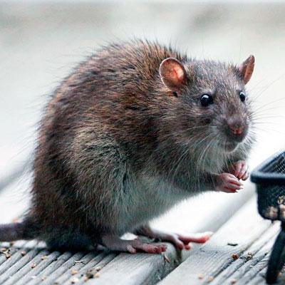 Уничтожение крыс в квартире